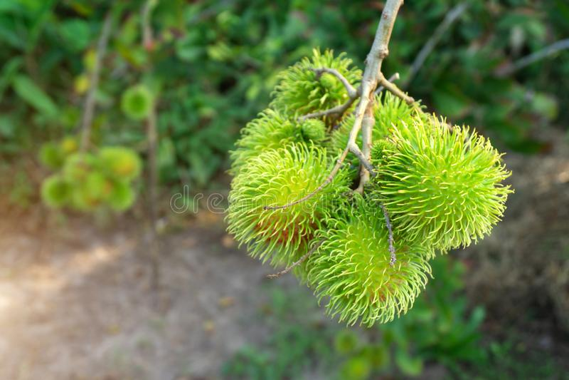 Rambutan verde que no es todavía maduro en árbol imágenes de archivo libres de regalías