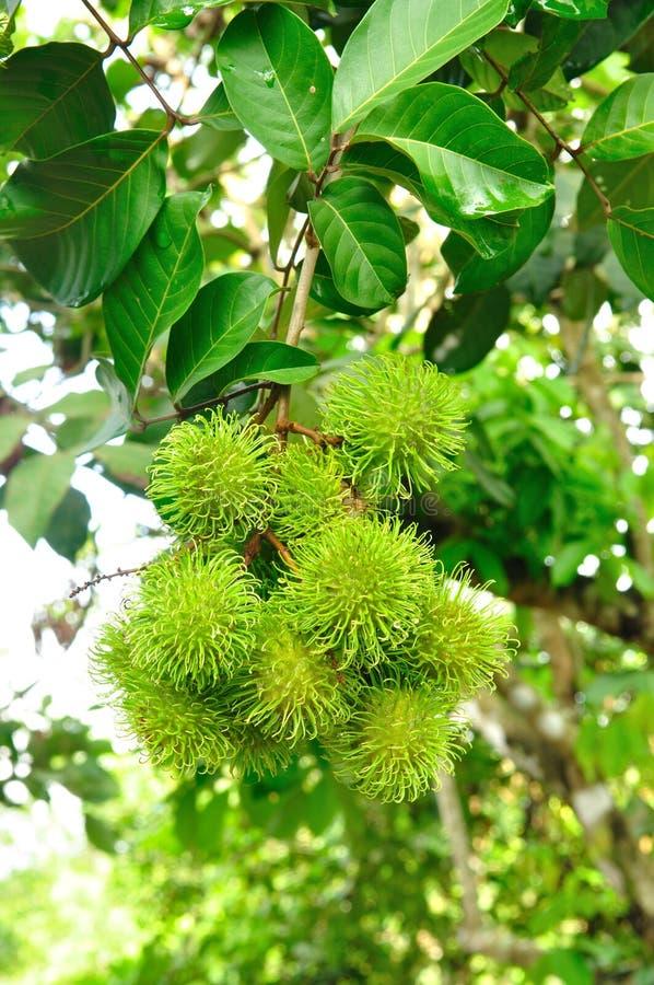 Download Rambutanbaum stockfoto. Bild von tropisch, grün, gruppe - 27732088