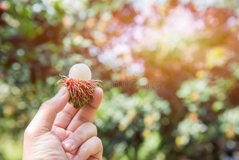 Rambutanfruit royalty-vrije stock afbeeldingen