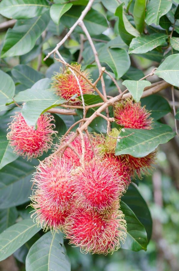 Rambutans frescos na árvore fotos de stock
