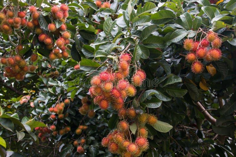 Rambutans vermelhos na árvore no jardim imagens de stock