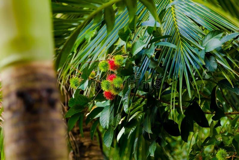 Rambutanträd arkivfoton