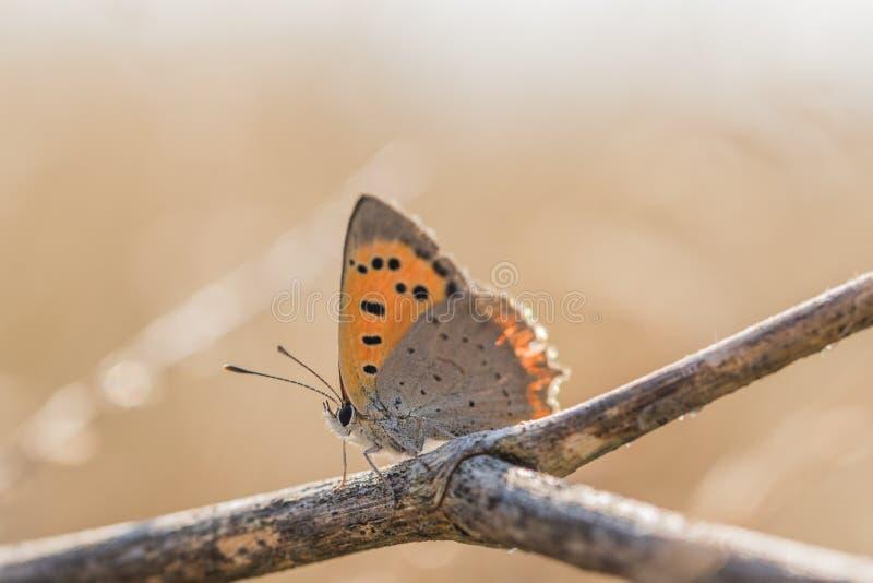 Rame del terreno comunale della farfalla; Phlaeas del Lycaena; su un ramoscello asciutto fotografia stock libera da diritti