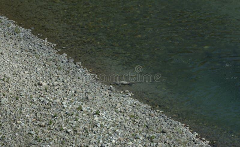 ramganga河Crocodilein透明的水  库存图片
