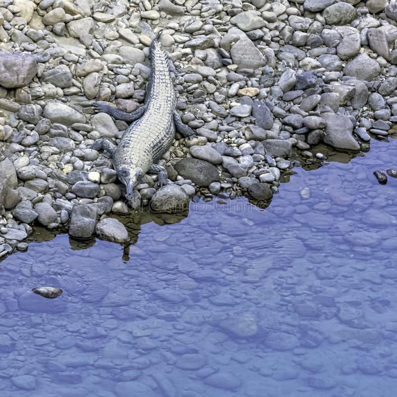 Ramgangarivier en gharial, ook gekend als gavial, en vis-etende krokodil - Jim Corbett National Park, India stock foto's