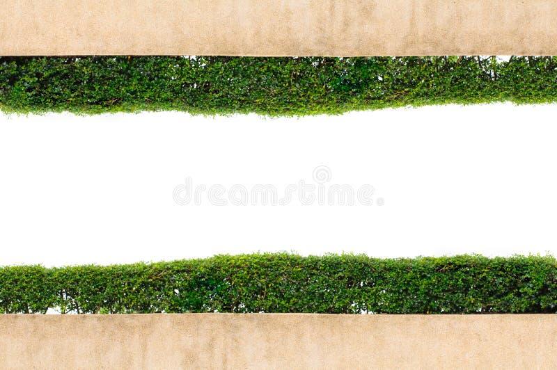 Ramgreengräs som isoleras på vit bakgrund royaltyfri bild