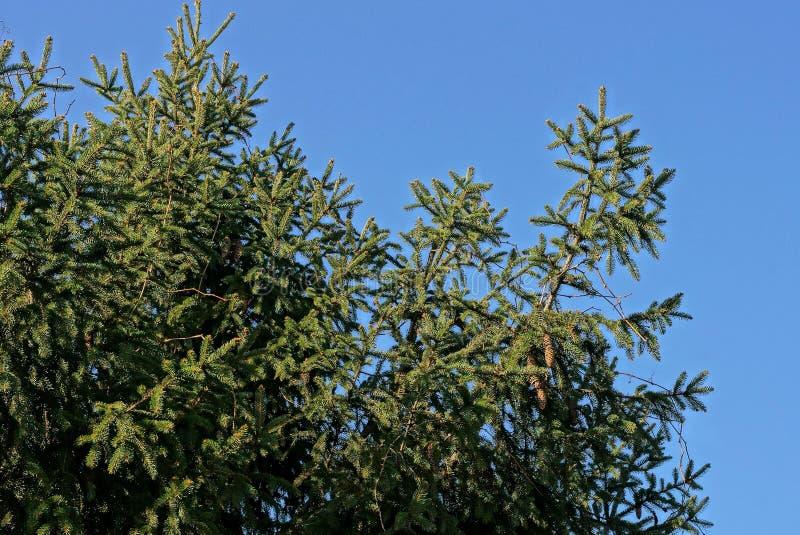 Rami attillati verdi coniferi con i coni sui precedenti del cielo fotografie stock