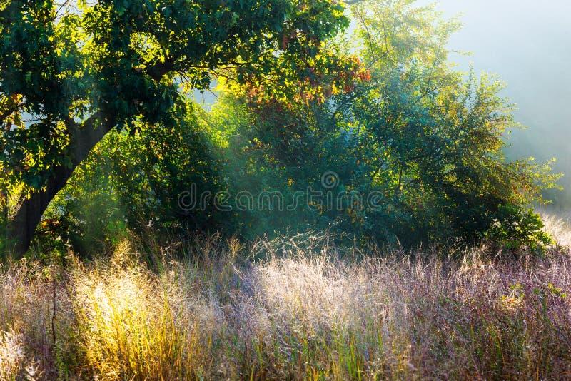 Rami backlit luce solare di mattina degli alberi nella foresta nebbiosa fotografia stock