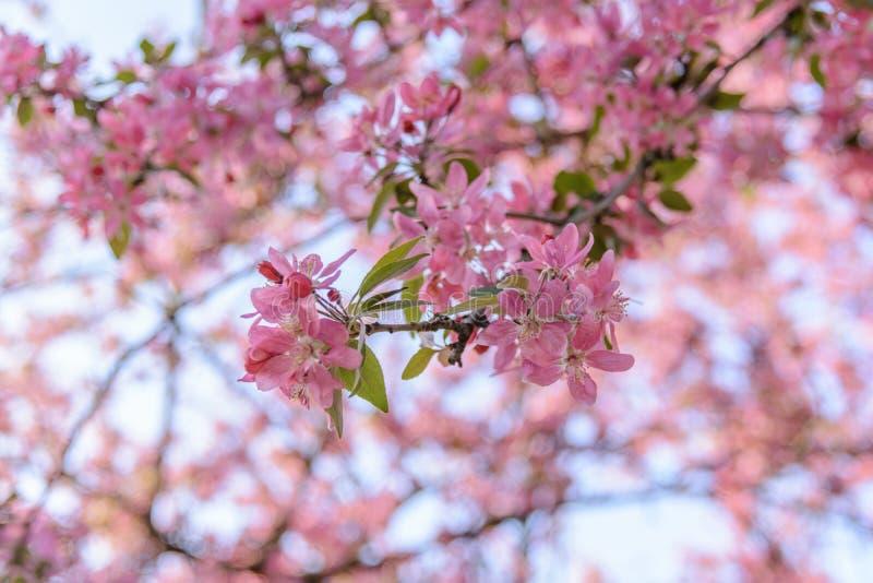 Rami cinesi che fioriscono il fiore di stagione di granchio-Apple immagine stock