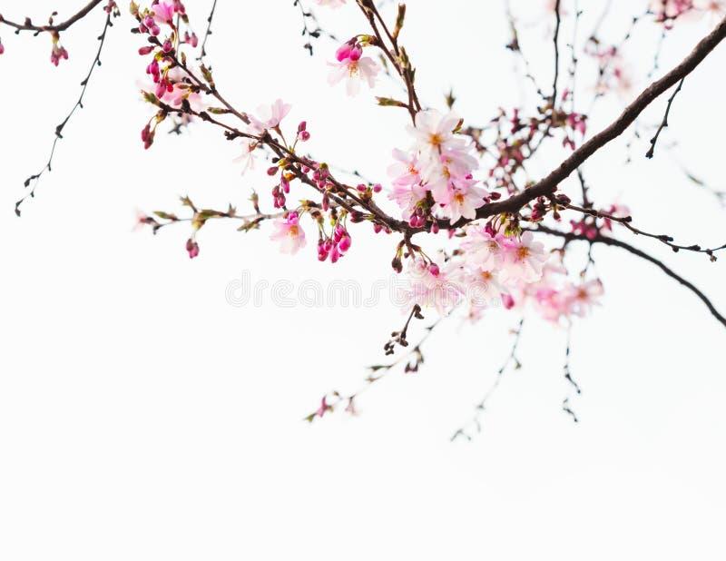Rami con i fiori rosa-chiaro dei fiori di ciliegia Sakura Immagine tonificata fotografie stock libere da diritti