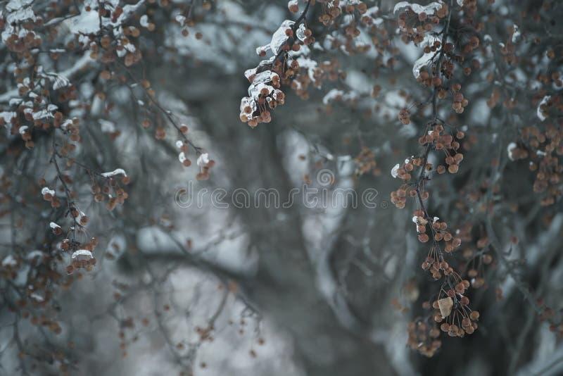 Rami con le bacche coperte di ghiaccio scintillante Fuoco selettivo fotografie stock