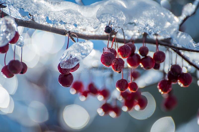 Rami con le bacche coperte di ghiaccio scintillante un giorno di inverno soleggiato immagine stock