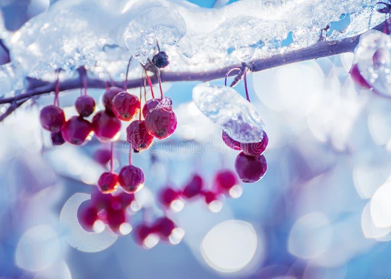 Rami con le bacche coperte di ghiaccio scintillante un giorno di inverno soleggiato fotografie stock libere da diritti