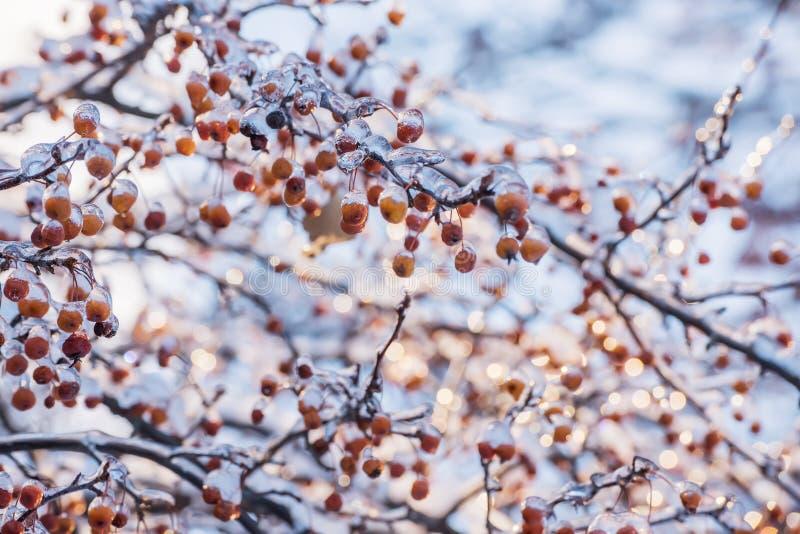 Rami con le bacche coperte di ghiaccio scintillante un giorno di inverno soleggiato Grippaggio Openwork dei rami del ghiaccio Fuo fotografia stock libera da diritti