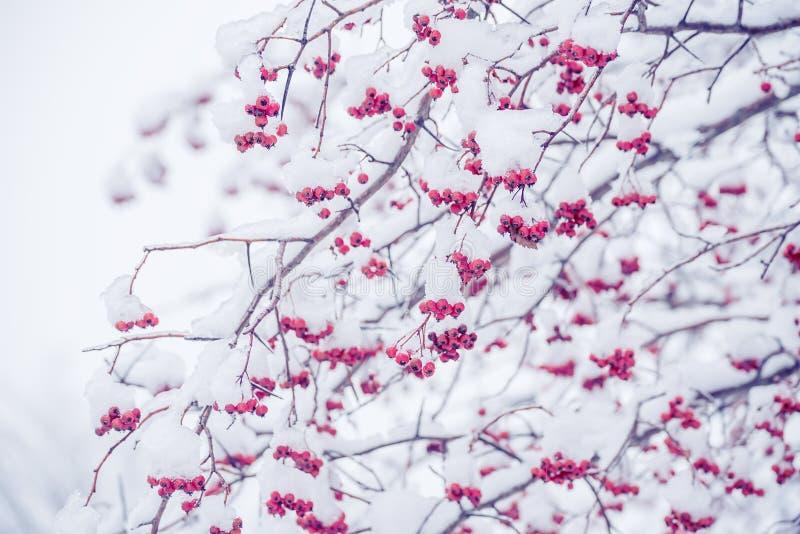 Rami con le bacche fertili nella neve fotografia stock libera da diritti