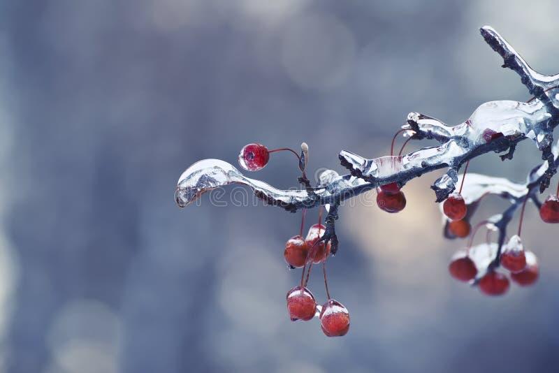 Rami con le bacche rosse coperte di ghiaccio fotografie stock