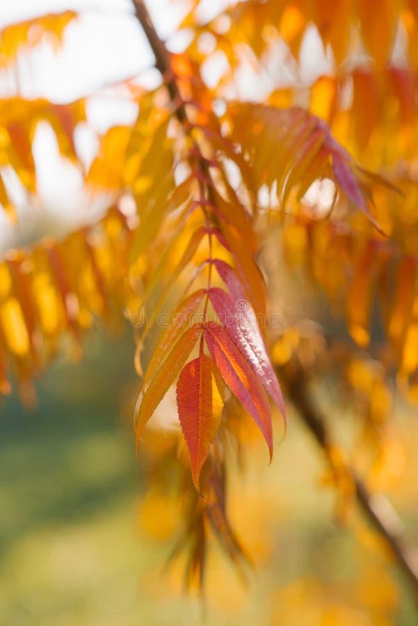 Rami con le foglie rosso-gialle dell'acacia fotografia stock