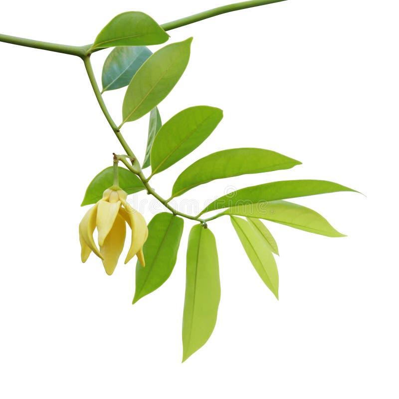 Rami con le foglie verdi ed il fiore giallo dell'ylang ylang, albero del profumo, cananga odorata isolato su fondo bianco immagine stock libera da diritti