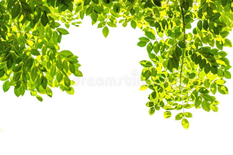 Rami con le foglie verdi isolate fotografia stock
