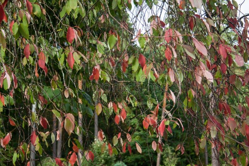 Rami con rosso e foglie verdi come tenda fotografie stock libere da diritti