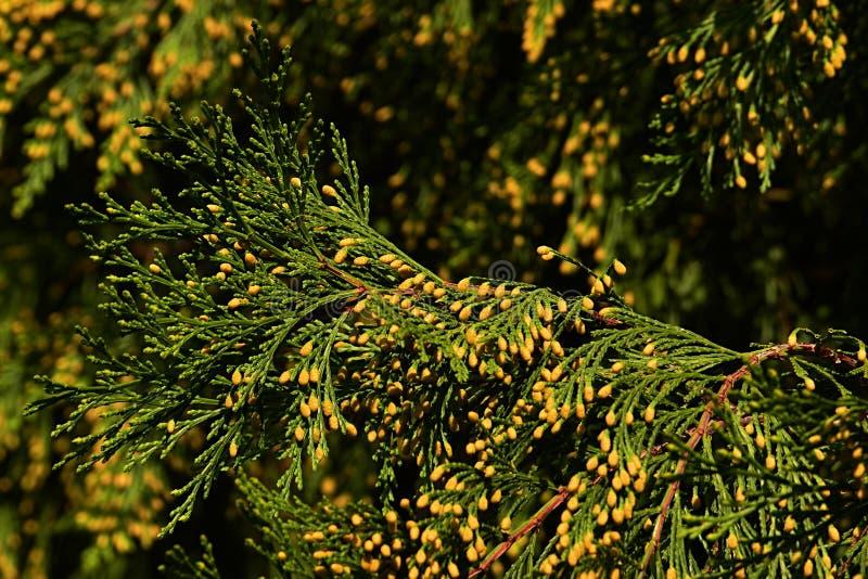 Rami coniferi dei decurrens del Calocedrus del cedro di incenso con i piccoli coni gialli visibili, chiaro fondo dei cieli blu fotografie stock libere da diritti