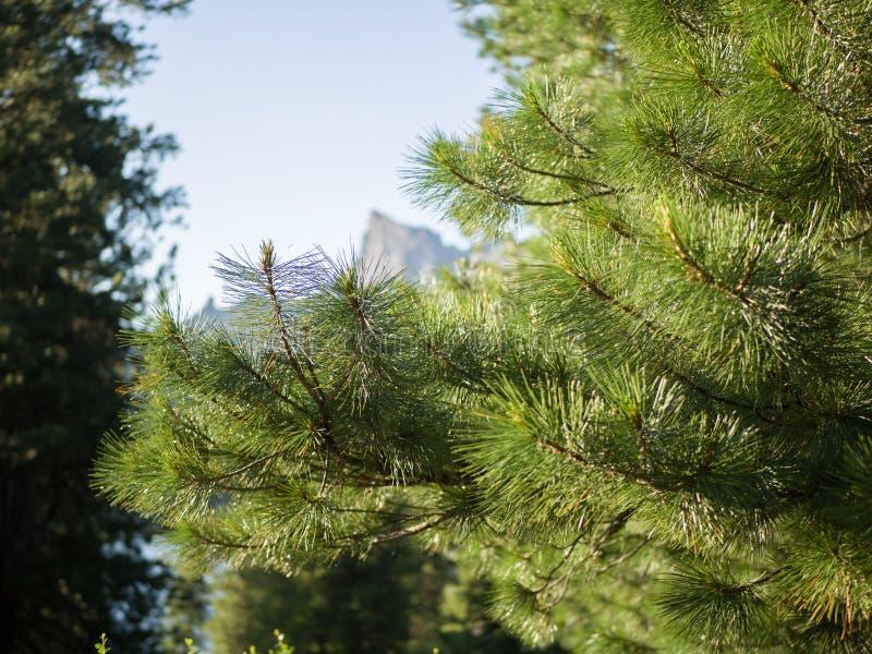 Rami coniferi del cedro siberiano contro il cielo blu Taiga siberiano Sayan occidentale immagini stock
