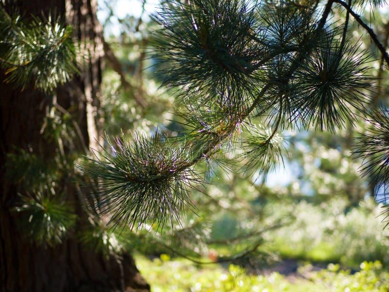 Rami coniferi del cedro siberiano Giorno di estate soleggiato nella foresta fotografia stock