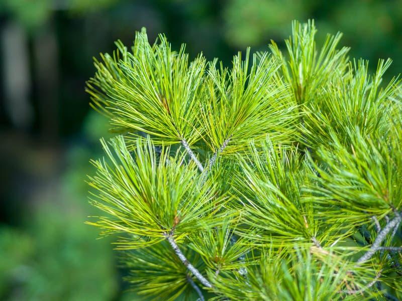 Rami coniferi verdi di cedro su un fondo verde della foresta fotografie stock libere da diritti