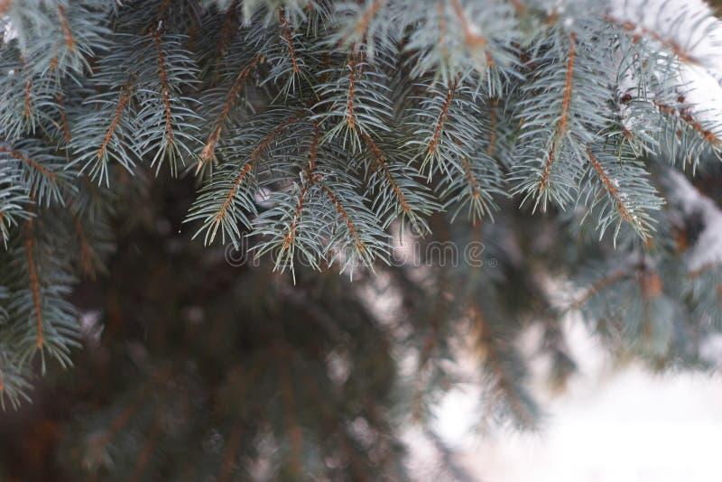 Rami degli alberi di Natale fotografia stock libera da diritti