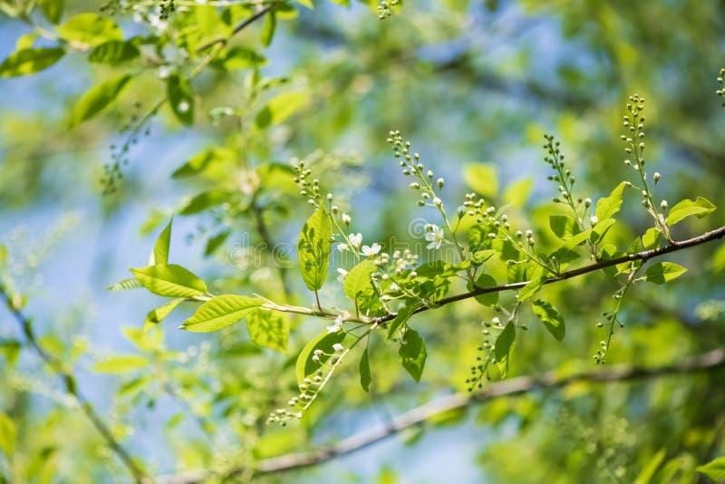 Rami dei fiori di ciliegia dell'uccello immagine stock libera da diritti
