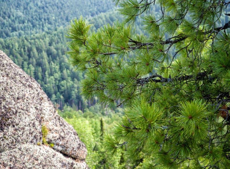 Rami del cedro sui precedenti del taiga fotografia stock