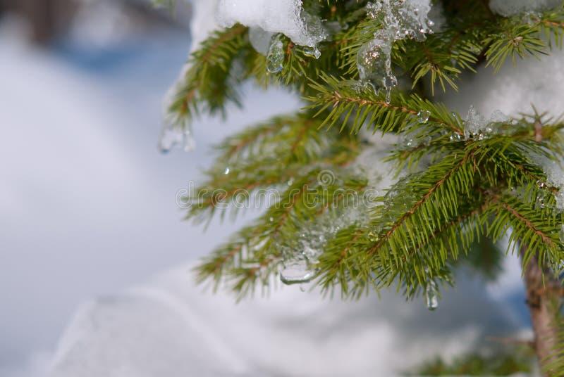 Rami del pino di inverno fotografia stock