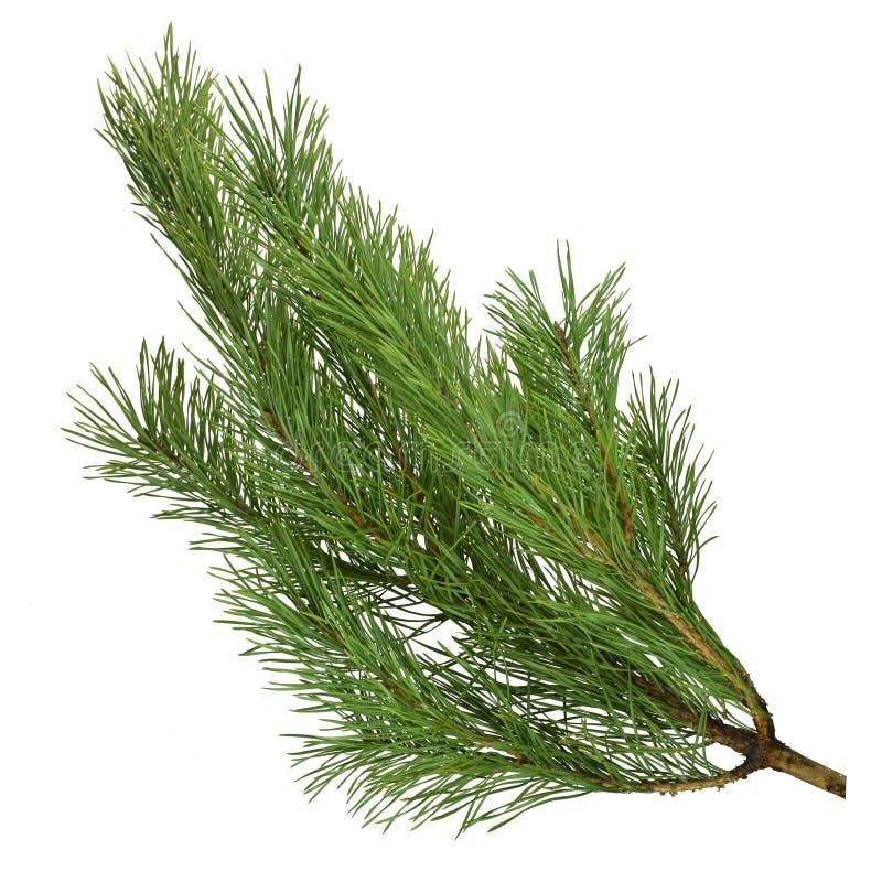 Rami del pino isolati su fondo bianco senza ombra immagine stock libera da diritti