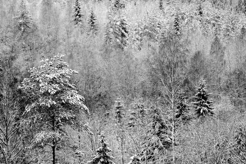 Rami dell'abete coperti di neve immagini stock libere da diritti
