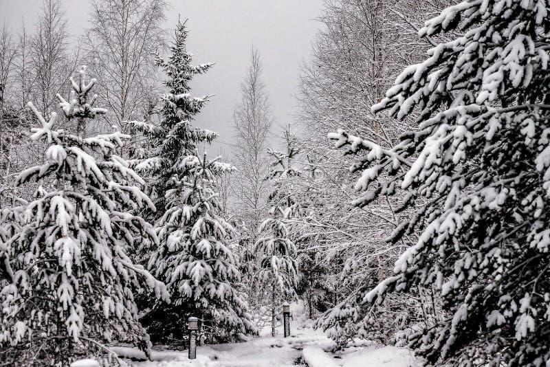 Rami dell'abete coperti di neve immagine stock
