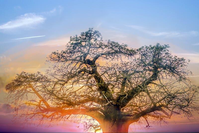 Rami dell'acacia immagini stock libere da diritti