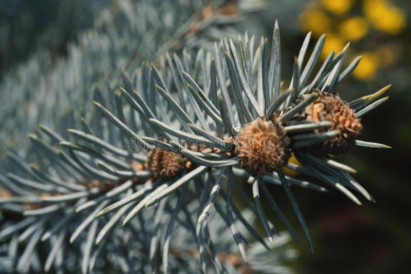 Rami dell'albero di abete blu Fondo fotografie stock libere da diritti