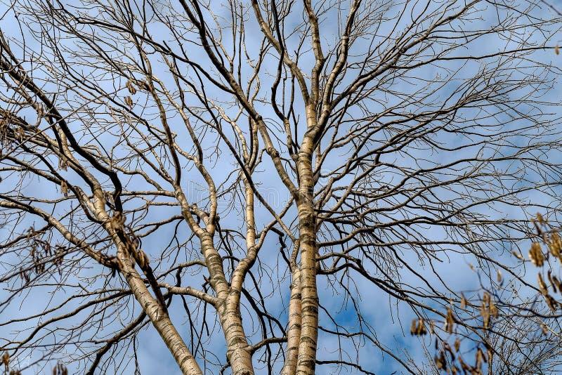 Rami dell'albero di betulla su un fondo del cielo blu fotografie stock