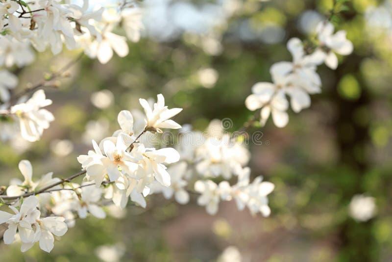 Rami dell'albero sbocciante della magnolia su fondo vago all'aperto fotografie stock
