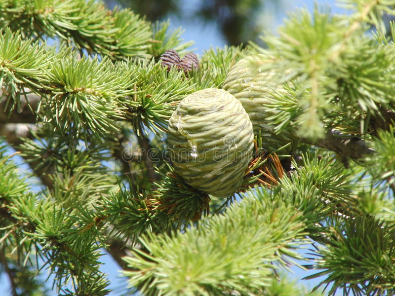 Rami dell'albero sempreverde fotografia stock libera da diritti
