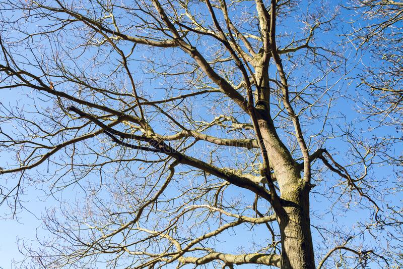 Rami dell'albero sfrondato contro cielo blu in primavera in anticipo immagini stock libere da diritti