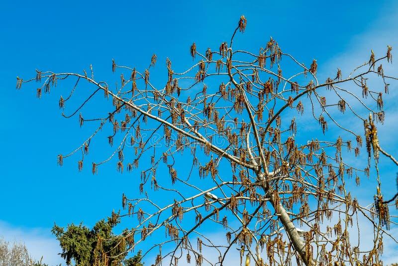 Rami dell'albero su un fondo del cielo blu fotografie stock libere da diritti