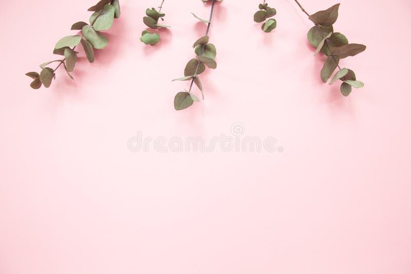 Rami dell'eucalyptus su fondo rosa millenario con lo spazio della copia Eucalyptus sul bordo superiore Disposizione del piano di  fotografia stock