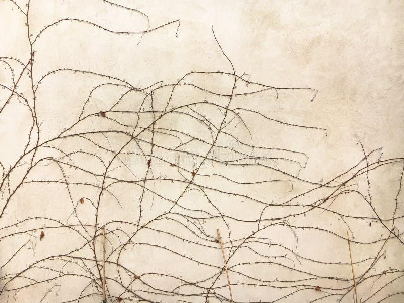 Rami dell'uva selvaggia di autunno tessuta sulla parete immagine stock