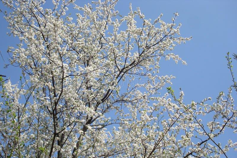 Rami della ciliegia con i fiori bianchi sui precedenti di cielo blu immagine stock
