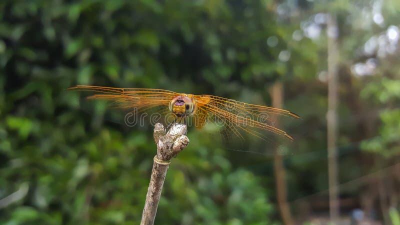 Rami della frizione della libellula fotografia stock