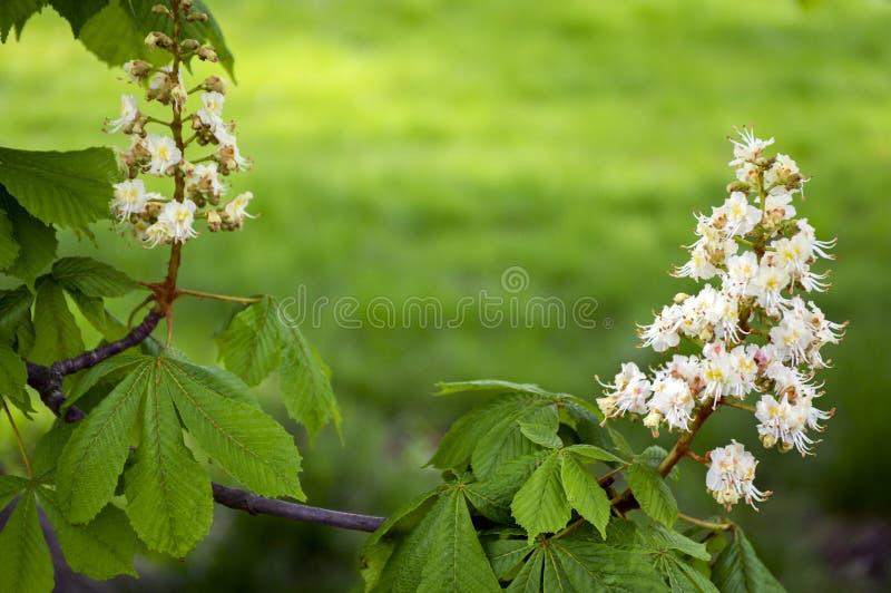 Rami di aesculus hippocastanum in fioritura immagine stock libera da diritti