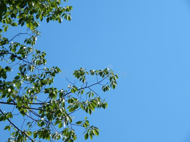 Rami di albero con il chiaro cielo fotografia stock libera da diritti
