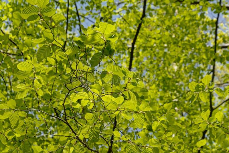 Rami di albero del faggio con le foglie verdi fresche della molla immagine stock libera da diritti