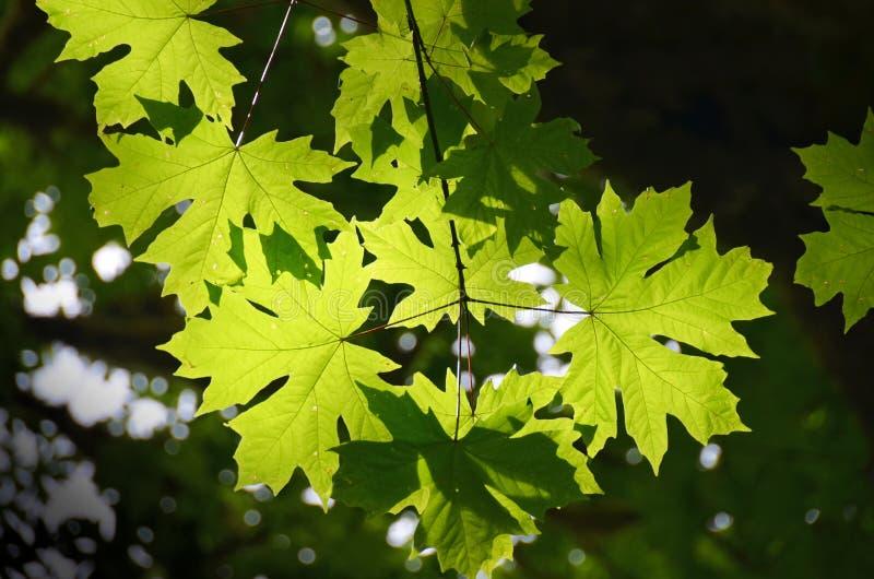 Rami di albero dell'acero fotografia stock libera da diritti